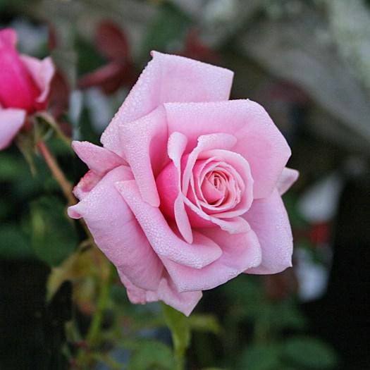 'Blossomtime' - Storblommiga Klätterros-Gruppen