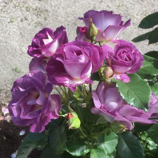 BLUE FOR YOU - Floribunda-Gruppen