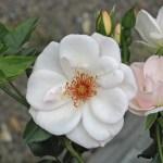 BOLERO - Courtyardros - Storblommiga Klätterros-Gruppen