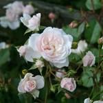 CHEEK TO CHEEK - Courtyardros - Storblommiga Klätterros-Gruppen