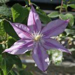 'Walter Pennell' - Tidiga Storblommiga Gruppen