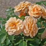 FOXTROT - Courtyardros - Storblommiga Klätterros-Gruppen