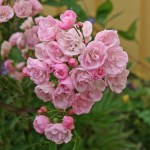 HEAVENLY PINK - Moschata-Gruppen