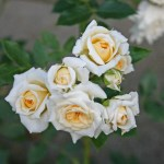 HONEYMILK - Floribunda-Gruppen