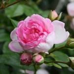 JASMINA - Storblommiga Klätterros-Gruppen