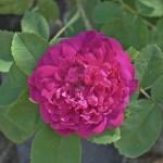 'Mme de la Rôche-Lambert' - Centifolia Muscosa-Gruppen