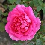 'Pink Cloud' - Storblommiga Klätterros-Gruppen