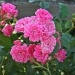 'Pink The Fairy' - Polyantha-Gruppen