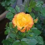 REDOVA - Courtyardros - Storblommiga Klätterros-Gruppen