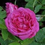 'Reine des Violettes' - Remontant-Gruppen