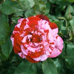 ROCK & ROLL - Grandiflora-Gruppen