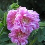 Rosa majalis 'Foecundissima' - Vildros - Fylld Kanelros