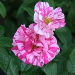 'Rosa Mundi' - Gallica-Gruppen