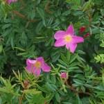 Rosa nitida - Vildros - Dockros