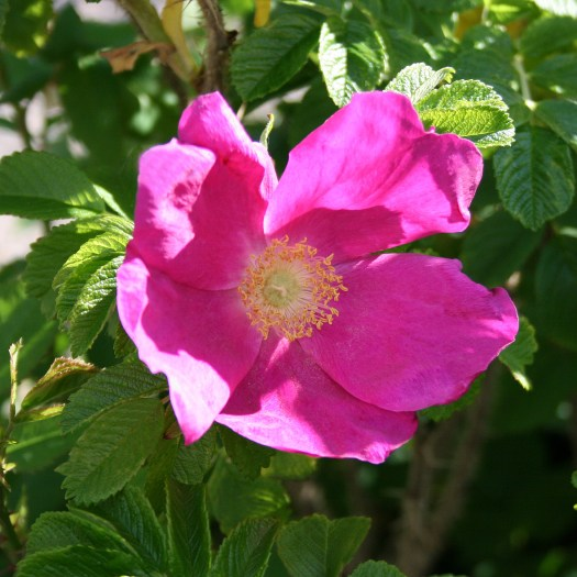 Rosa rugosa 'Rosea'