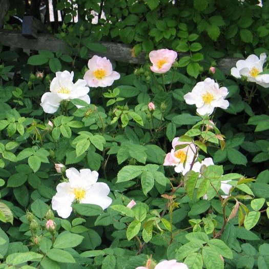 Rosa x richardii 'Sancta'