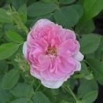 'Rose de Meaux' - Centifolia-Gruppen