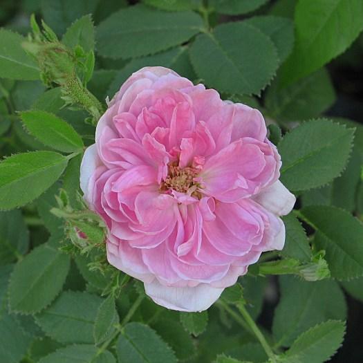 'Rose de Meaux'