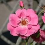 RYTHM 'N BLUES - Courtyardros - Storblommiga Klätterros-Gruppen