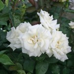 WHITE NIGHTS - Courtyardros - Storblommiga Klätterros-Gruppen