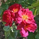 WILD ROVER - Floribunda-Gruppen