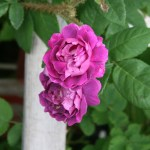 'William Lobb' - Centifolia Muscosa-Gruppen