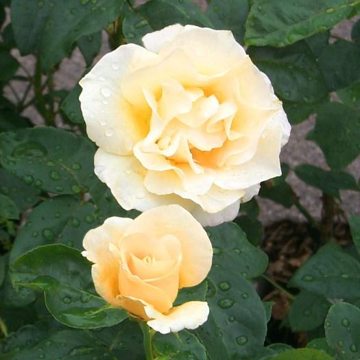 'Yellow Queen Elizabeth'