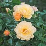 ZORBA - Courtyardros - Storblommiga Klätterros-Gruppen