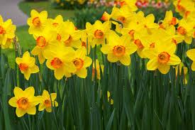 Homestead Hero: Daffodils