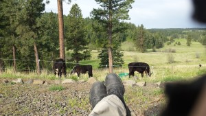 Living the life! Kicking it with the cows!