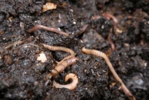 Worms a'plenty!