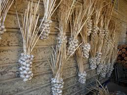 Dried Garlic Braids Hanging