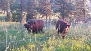 Devon Cattle on grass