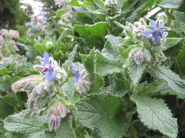Edible borage flowers