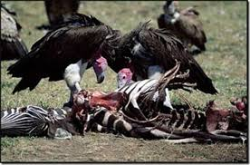 Vultures At Work