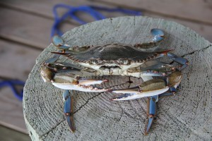 Blue Crab - Traditional Thai Food Ingredients