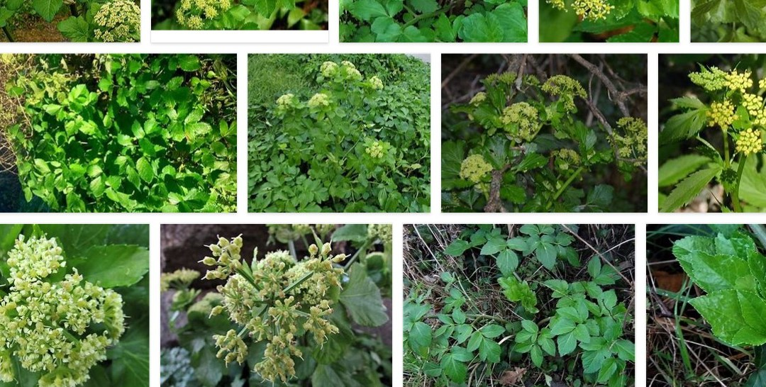 Foraging Friday – Chickweed and Alexanders