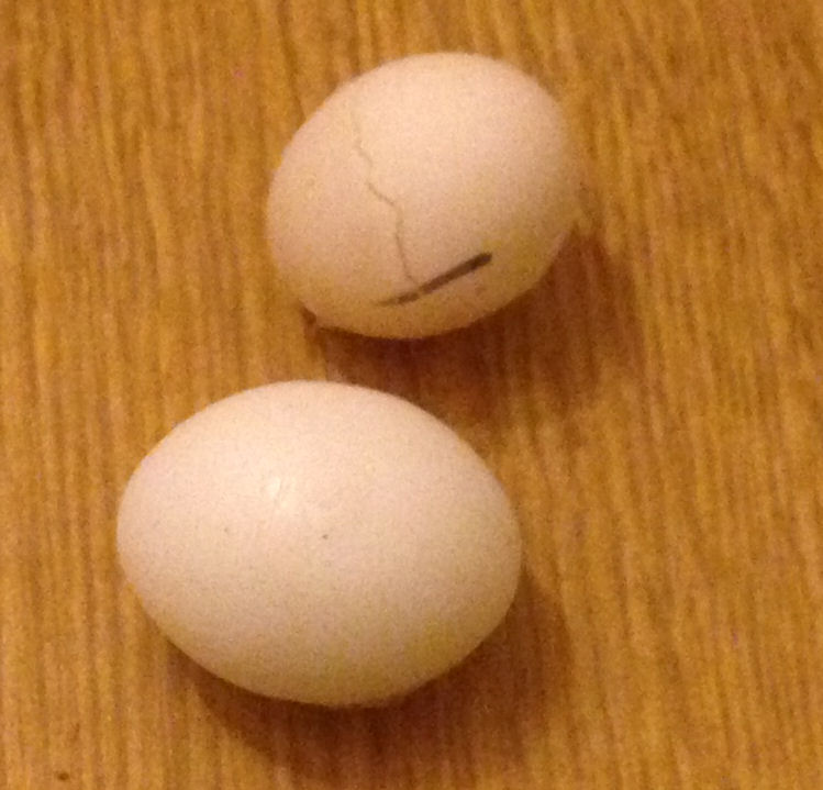 Standard Budgerigar egg with dummy egg below