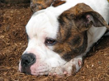 American-bulldog-puppy-face0113-copy