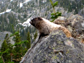 Henry The Marmot