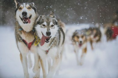 dogs pulling sled Canada