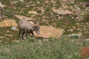 Bighorn sheep on top of Mt Grinnell