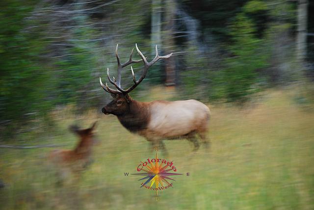 Elk Rocky Mountain Park Colorado River Trail to Lulu City mining town