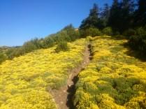 camino entre aliagas hacia la cruz de la Peña Oroel