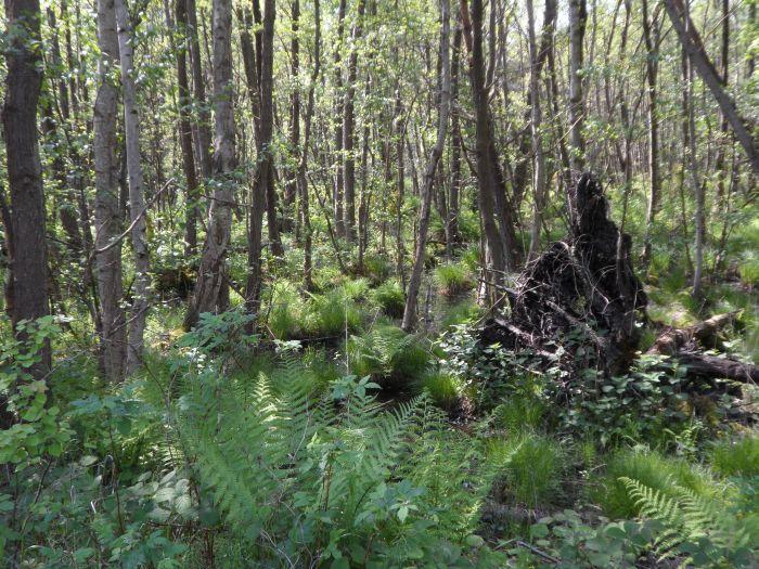 Erlenbruchwald