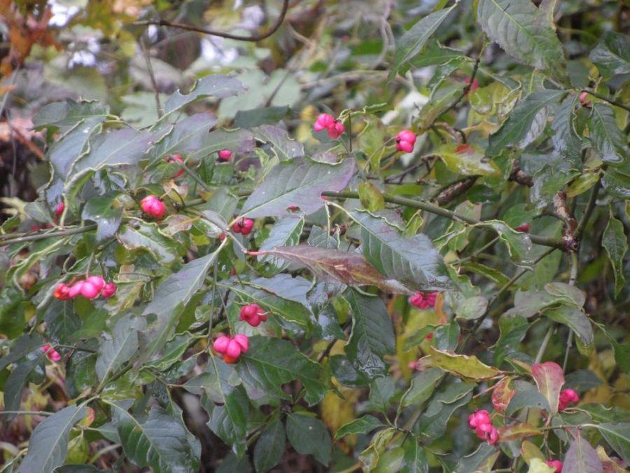 Die Pfaffenhütchen öffnen sich im Herbst
