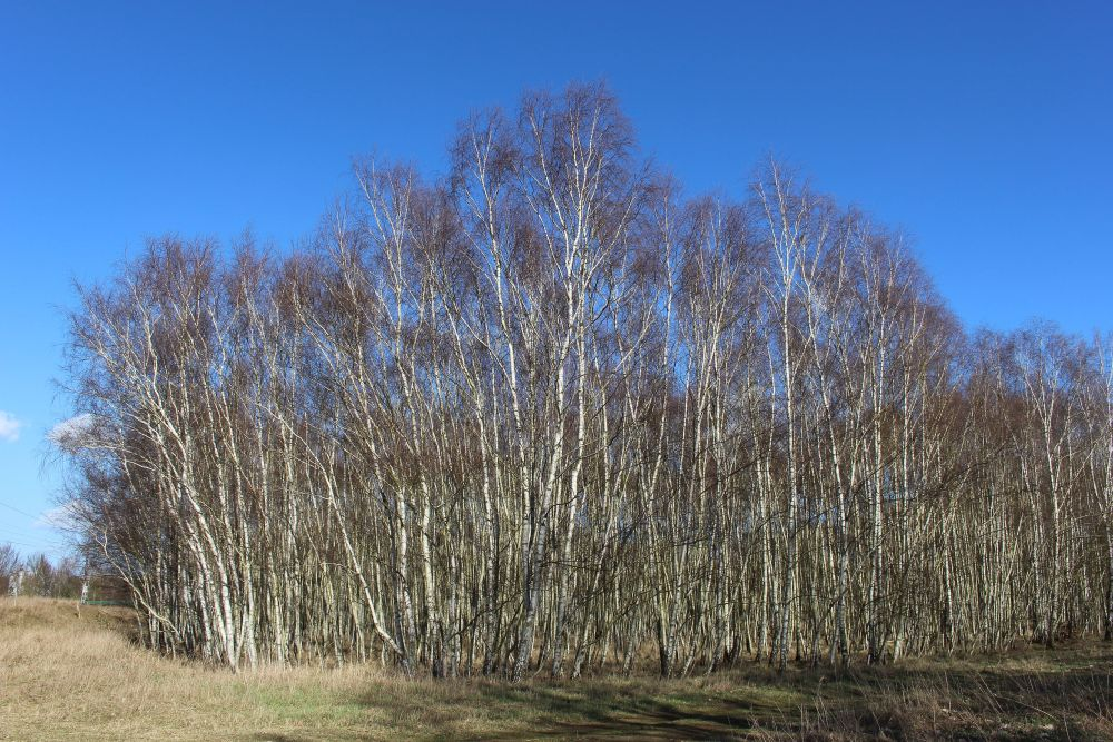 Birkenhain in der Schönwalder Heide