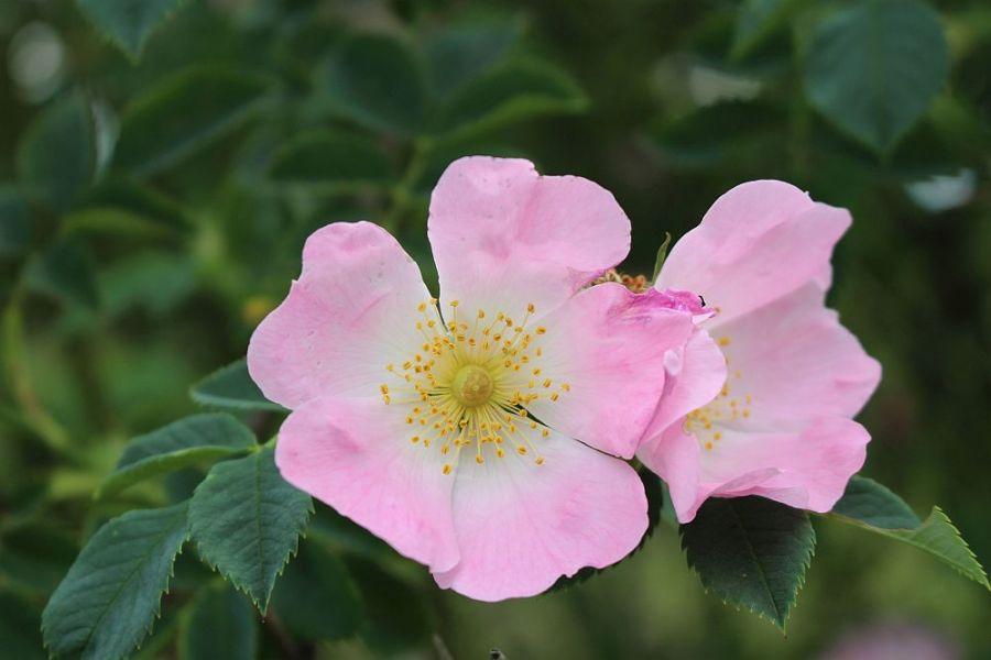 Hunds-Rose