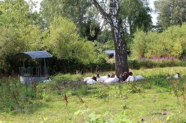 Wasserbüffel vor der Metamorphose ? Nee, sind bloß Ziegen !