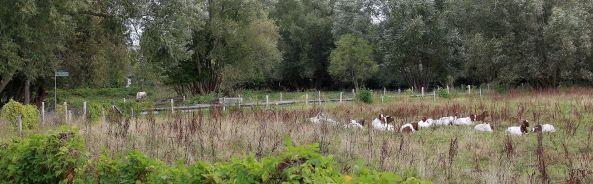 Ziegen in den Tiefwerder Wiesen – hier: Tiefwerder Wiesen.